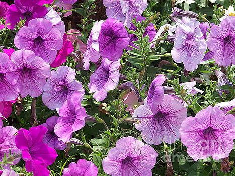 Petunias by Kevin Croitz