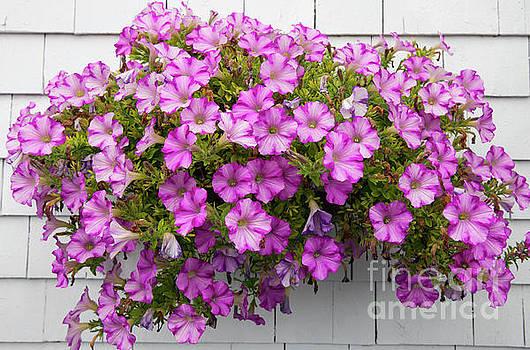 Petunias on white wall by Elena Elisseeva