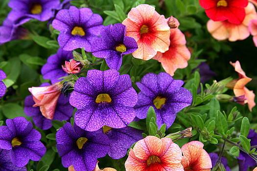 Petunias by Terry Burgess
