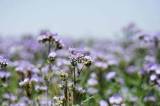Newnow Photography By Vera Cepic - Phacelia closeup flower in field