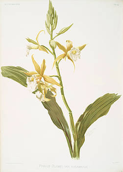 Ricky Barnard - Phaius Blumei Var Assamicus