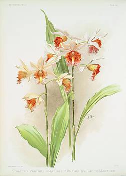 Ricky Barnard - Phaius Hybridus Amabilis, Phaius Hybridus Marthiae