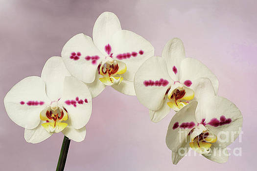 Phalaenopsis Moth Orchids V2 by Judy Whitton