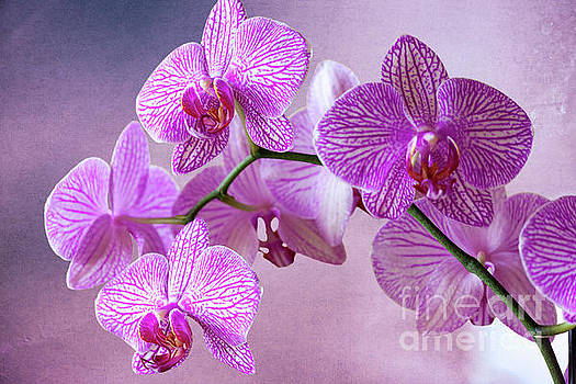 Heiko Koehrer-Wagner - Phalaenopsis Pink Balanz