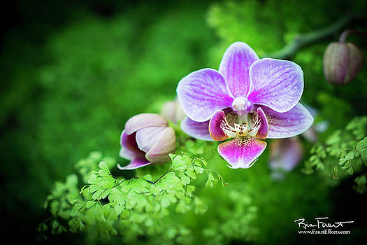 Phalaenopsis by Ric Faust