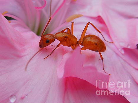 Pharaoh Ant by Chad and Stacey Hall