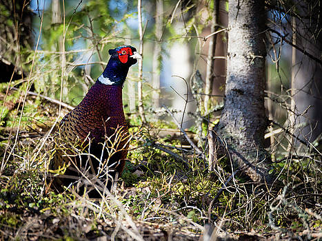 Pheasant in the Forest by Teemu Tretjakov