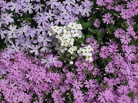 Phlox and the white flowers by Ken Moran