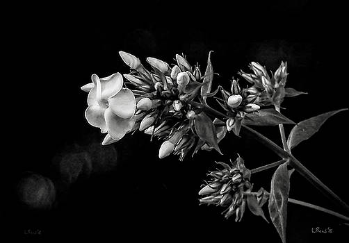 Bill Linn - Phlox in black and white