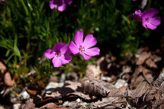 Phlox In Spring #2 by Jeff Severson