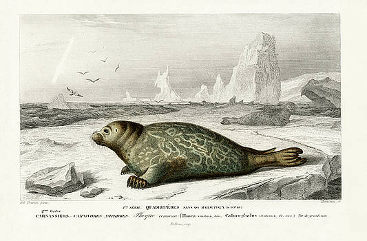 Phoca illustrated by Charles Dessalines by Charles Dessalines D' Orbigny