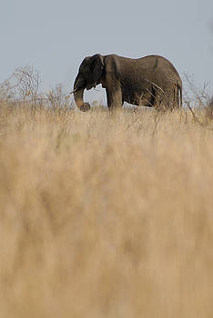 Sami Sarkis - Photo of african Elephant