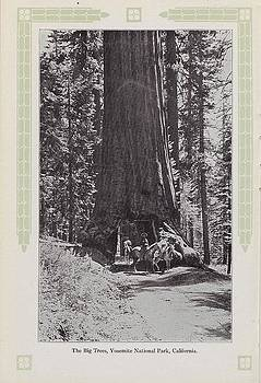 Chicago and North Western Historical Society - Photo of Big Trees in Yosemite From 1915 Travel and Rest in Our Wonderful West Brochure