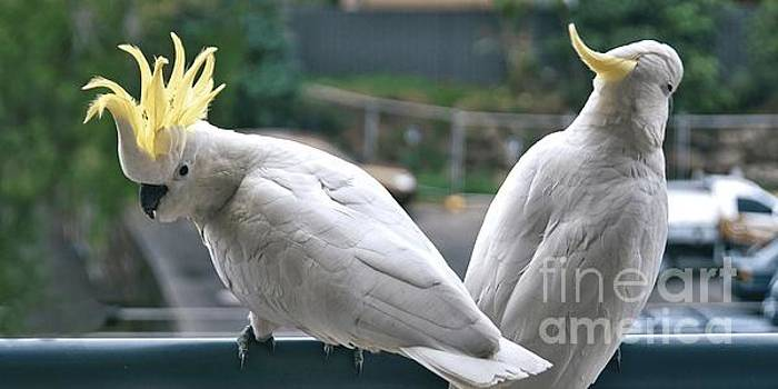 Photo Series -Two amorous Australian Sulphur Crested Cockatoos f by Geoff Childs