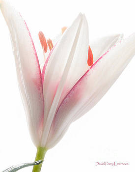 Photograph of a Pale Lily Opening II by David Perry Lawrence