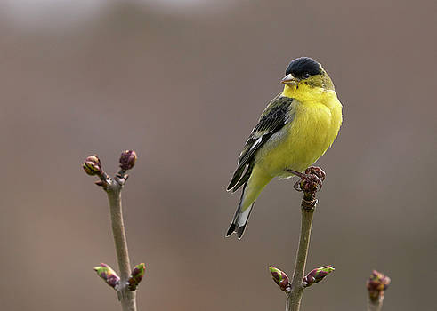 Lesser Goldfinch by Douglas Herr