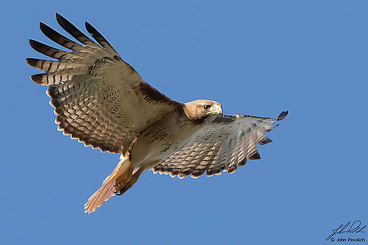 Red-tailed Hawk by John Pavolich