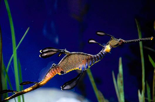 Phyllopteryx taeniolatus Sea Dragon by Freepassenger By Ozzy CG