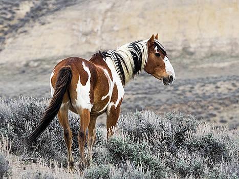 Nadja Rider - Picasso - Wild Mustang Stallion of Sand Wash Basin