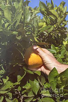 Patricia Hofmeester - Picking an orange