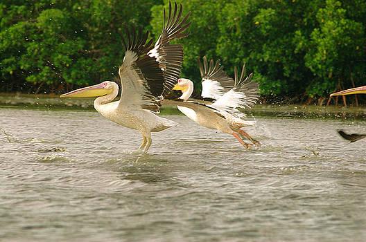 Eduardo Huelin - Picture of pelicans captured in Senegal