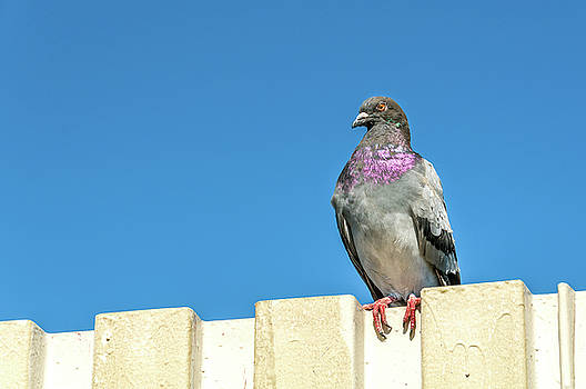 Pigeon On A Fence by Xavier Cardell
