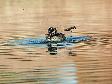 Pied-billed Grebe and Crawfish by Tam Ryan