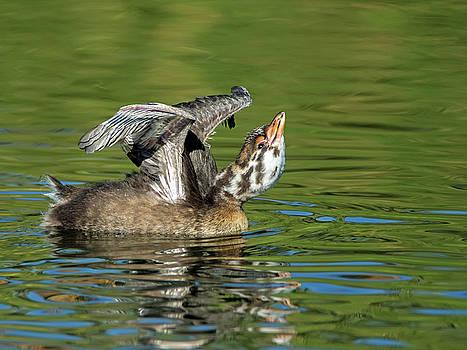 Pied-billed Grebe Chick Stretching by Tam Ryan