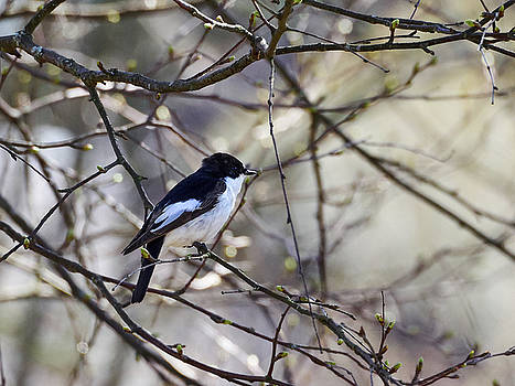 Pied Flycatcher by Jouko Lehto