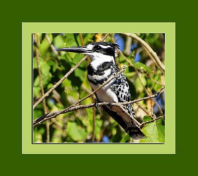 Pied Kingfisher in a Toot Tree by Aisha Abdelhamid