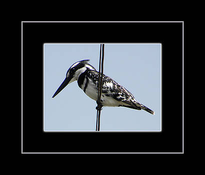 Pied Kingfisher in Egypt by Aisha Abdelhamid