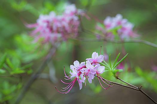 Piedmont Azalea Bloom by Jim Neal