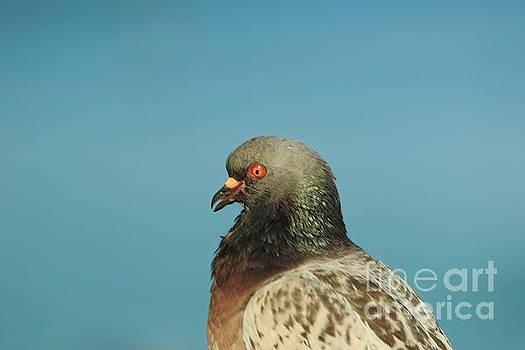 Pigeon by Byron Fair