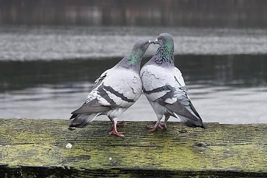 Pigeon Kiss by Claudia Stewart
