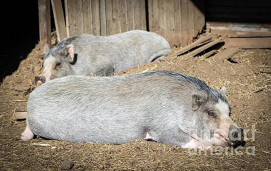 Cheryl McClure - Piggies