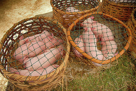 Pigs in Baskets by Donna Caplinger