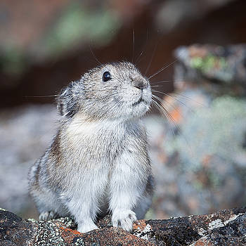 Pika Portrait by Tim Newton