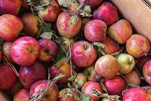 Pile of freshly picked organic farm apples with imperfections by Bradley Hebdon