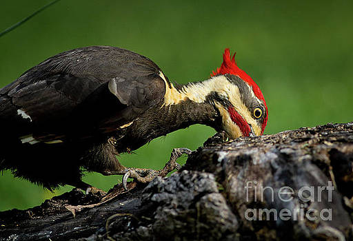 Pileated 3 by Douglas Stucky