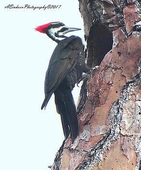 Pileated Woodpecker by Allan Einhorn