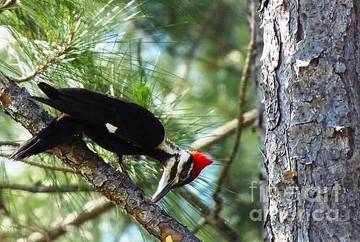 Pileated Woodpecker  by Isabel Honkonen