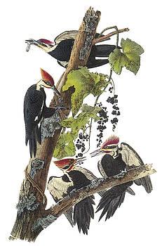 John James Audubon - Pileated Woodpecker