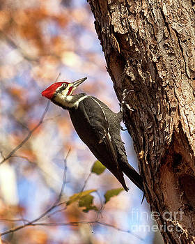Pileated Woodpecker by Phil Spitze