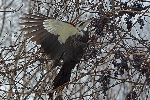 Pileated Woodpecker - wings by Asbed Iskedjian