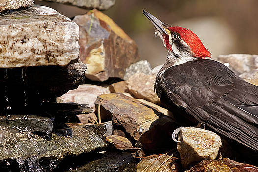 Pileated Woodpecker2 by Loni Collins