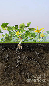 Pilewort or Lesser Celandine Ranunculus ficaria - Root System -  by Urft Valley Art
