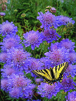 Pincushion Flowert With Tiger Swallowtail by Diane Schuster