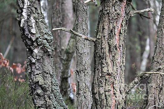 Pine and Birch by Dariusz Gudowicz