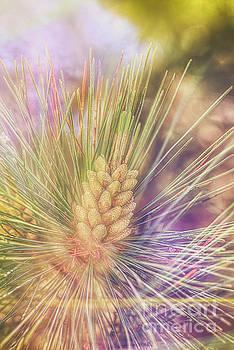 Pine blossoms by Veikko Suikkanen