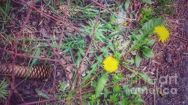 Pine cone and dandelions by Hilary J England